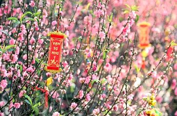 Chọn hoa đào ngày tết chuẩn đẹp